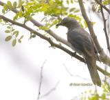 Black-winged cuckooshrike C20D_03792.jpg