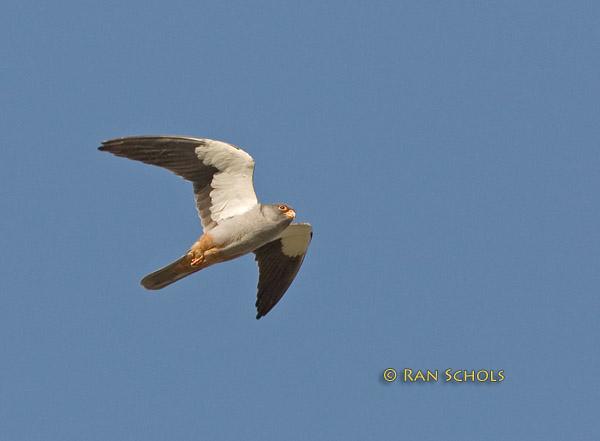 Amur falcon C20D_03154.jpg