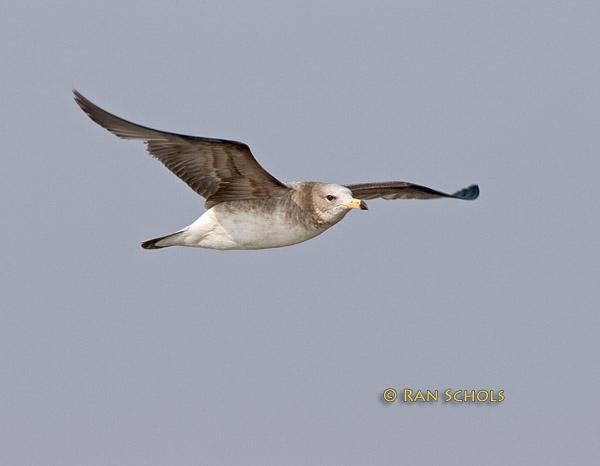 Black-tailed gull C20D_03002.jpg