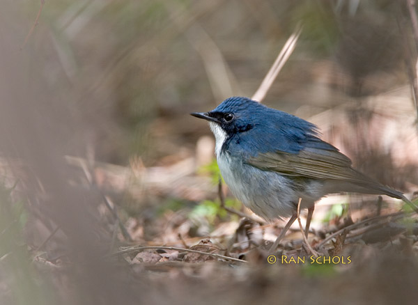 Siberian Blue robin C20D_03496.jpg