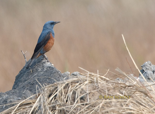 Blue rock thrush C20D_03942.jpg
