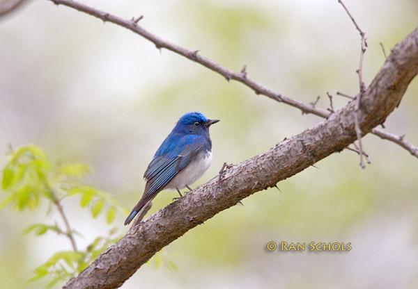 Blue-and-white flycatcher C20D_02741.jpg
