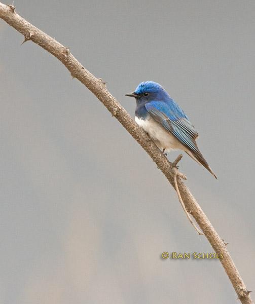 Blue-and-white flycatcher C20D_02742.jpg