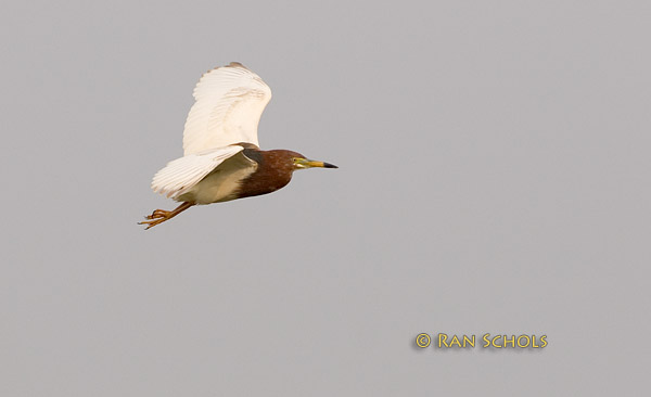 Chinese pond heron C20D_03680.jpg