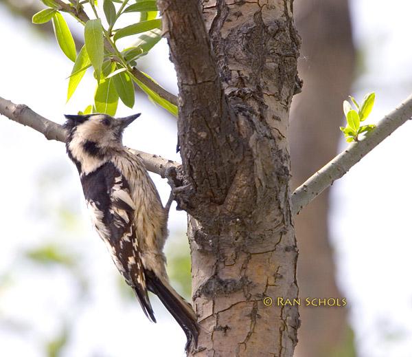 Grey-capped woodpecker C20D_02292.jpg