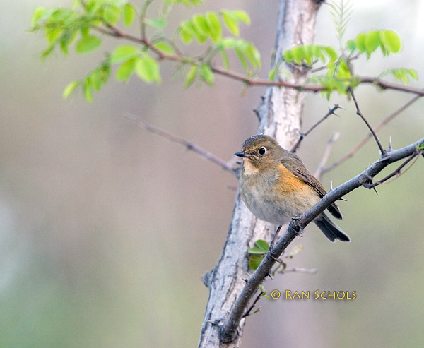 Red-flanked bluetail C20D_02714.jpg