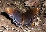 WHITE ADMIRAL / RED SPOTTED PURPLE INTERGRADE