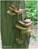 Dryad's Saddle Polypore-LIkely