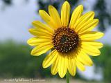 One Sunflower Day