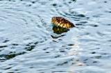 delaware river snake
