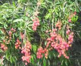 Lychee (Litchi chinensis)