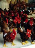 Chick-Chick Chick-Chick Chicken