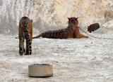 Tiger Bum