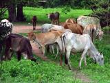 A Cows Life