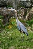 Great Blue Heron 05_22_05.jpg