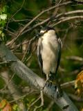 134 Black Crowned Night Heron