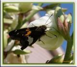 butterflya2003f.jpg