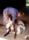 Sheep shearing at Old Bethpage