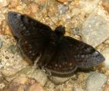 Sleepy Duskywing - Erynnis brizo  male