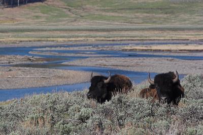 Bison 40