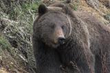 Bear 195