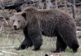 Bear 460