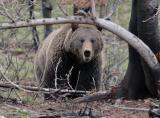 Bear 200