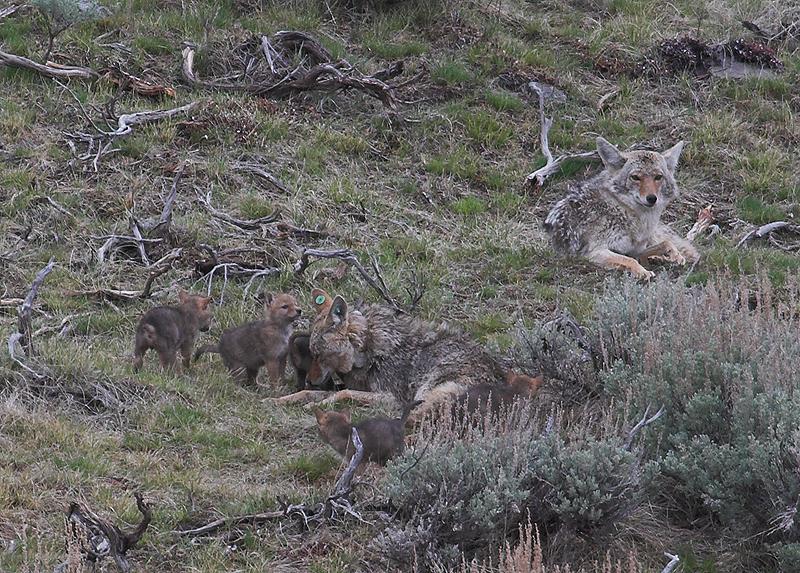 Coyote 180