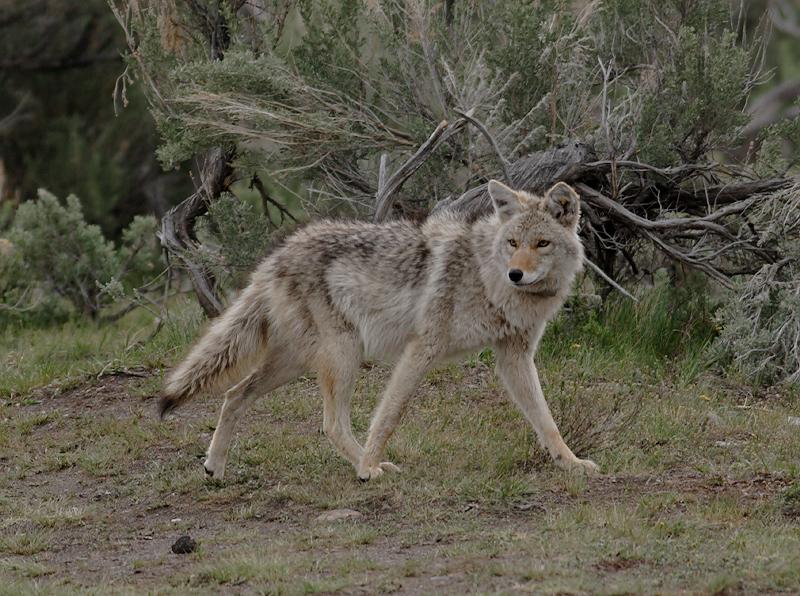 Coyote 70