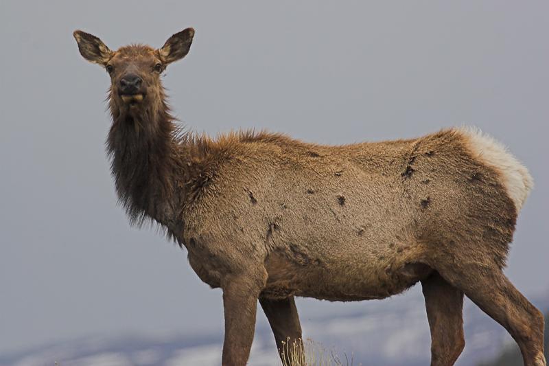 Elk 180