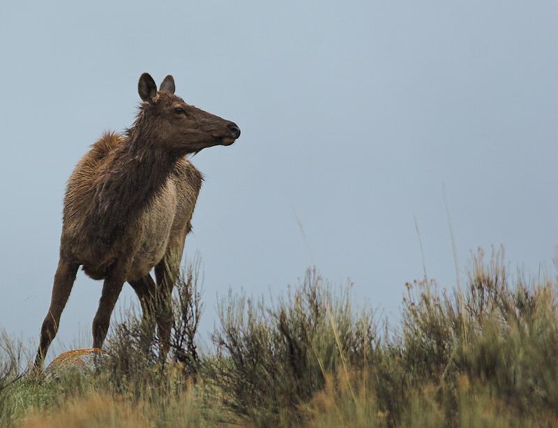 Elk 70