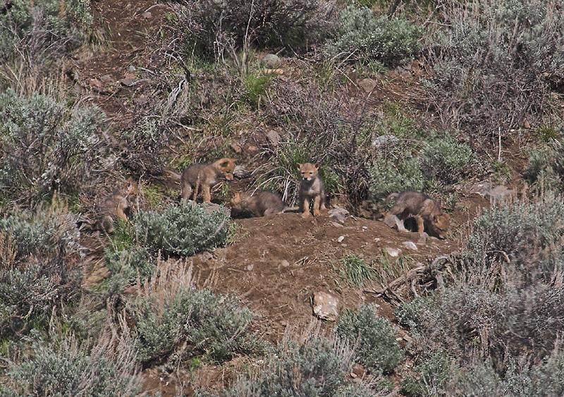 Coyote 80