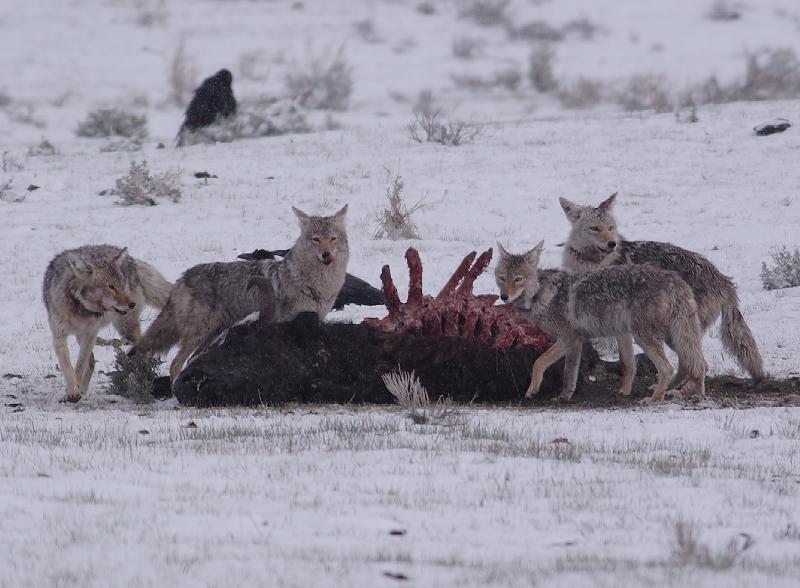 Coyote 20