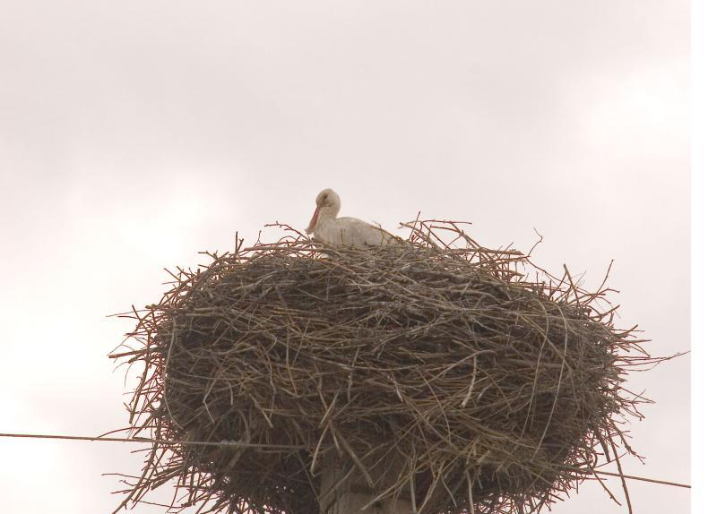 Stork in his nest