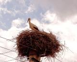Stork  nesting