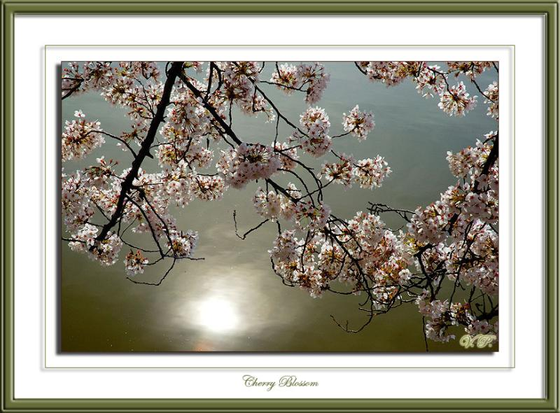 Suns reflections.  Cherry Blossom, Washington DC