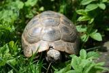 Schildkröte Argos