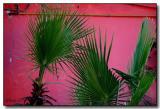 Palms on Pink