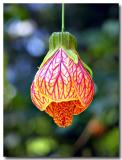 Japanese Lantern - Oyama Magnolia - Magnolia sieboldii