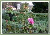 Lavender & rose  Oldfields