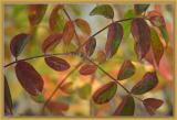 Cardinal de Richelieu autumn leaves
