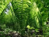 Looking up thru the Ferns.jpg