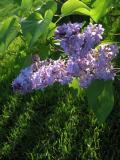 Purple Lilac.jpg