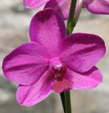 orchid single.jpg