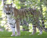 tiger pse.jpg