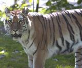tiger-face.jpg