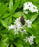Bug on Sweet Woodruff