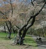 Bikes resting beneath the cherry trees while their riders enjoy lunch (and the scenery) in the sun.