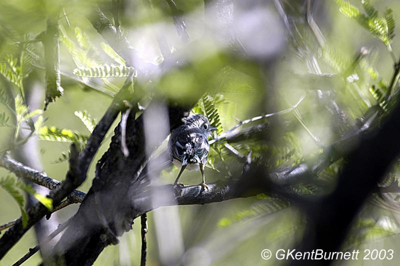 Black Capped Gnat Catcher-RARE