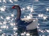 star-spangled greylag goose